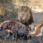 Heyna vs Lion at Kruger