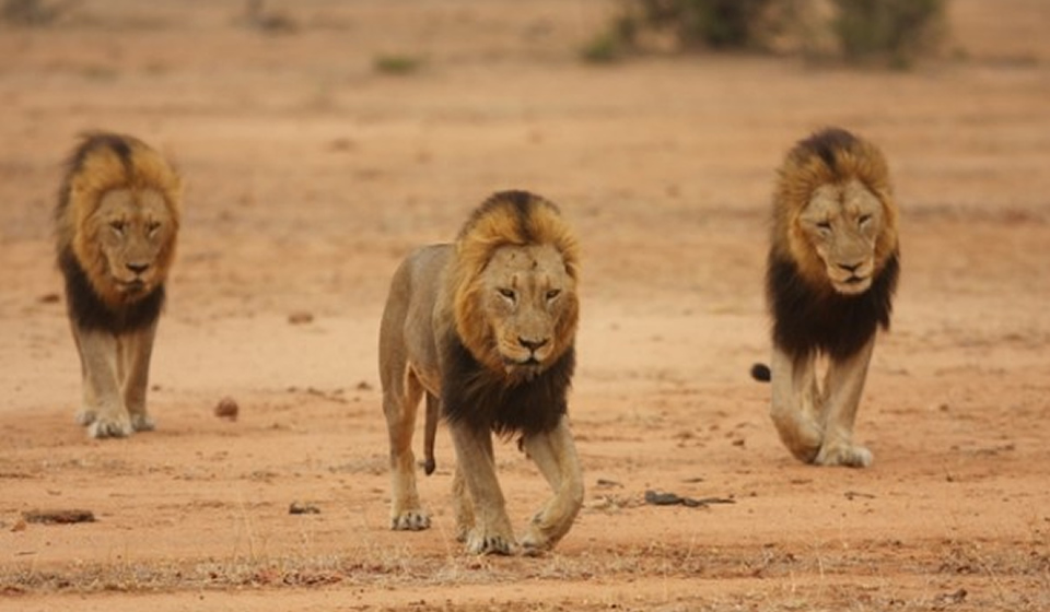 Male Lions in Sabi