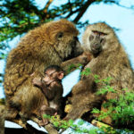 Olive Baboons of Uganda