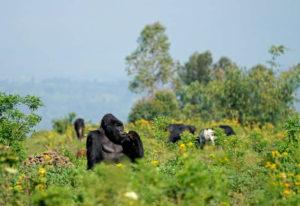 Gorillas in Congo's Virunga Region