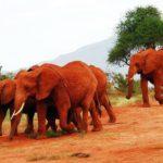 Red Elephants in Tsavo