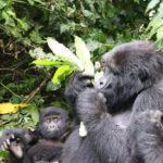 Meet the Gorillas in the Wild