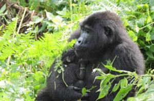 Nshongi Baby Gorilla