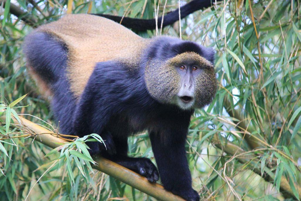 Golden Monkeys in Rwanda