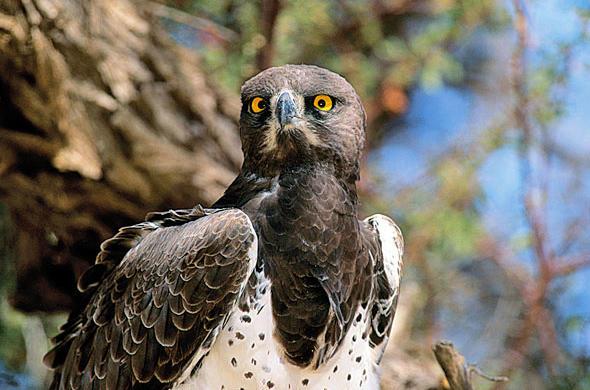 Kruger Martial Eagle