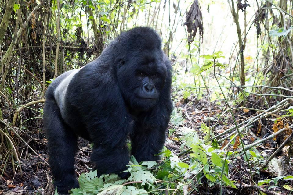 Congo Mountain Gorilla